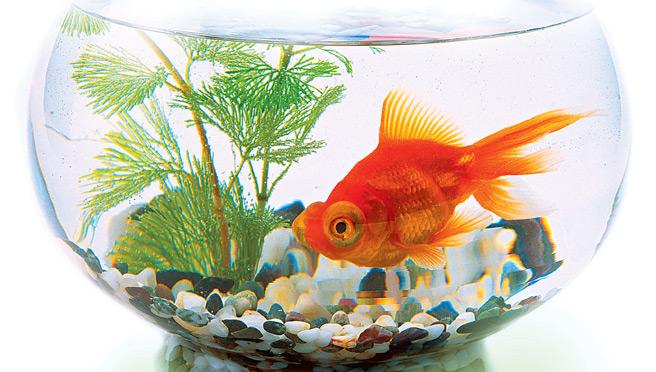 золотая рыбка фото в аквариуме